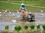 Banjir tidak Rugikan Sawah Petani