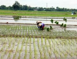 Produksi Gabah Kabupaten Boyolali Capai 112.619 Ton