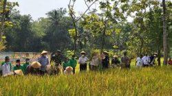 Pemerintah Kabupaten Kulon Progo Mengembangkan Padi Varietas Inpari di Sawah Baru