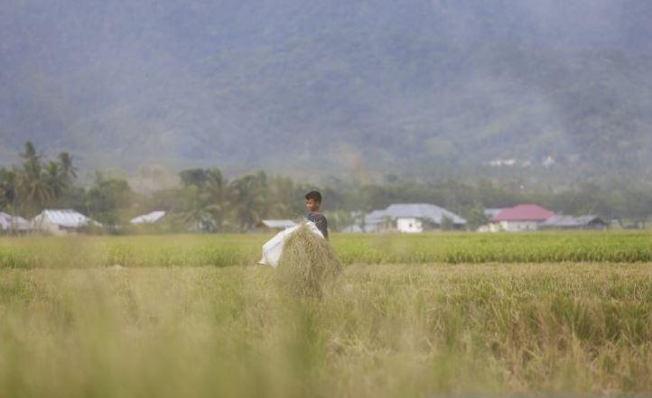 Seorang anak mengangkut jerami
