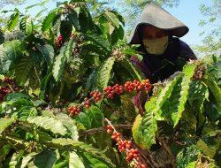 PT Perkebunan Nusantara IX Memberdayakan Masyarakat untuk Panen Kopi